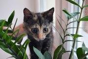 Трёхцветная кошечка Пельмешка 2, 5 мес. на счастье!!!