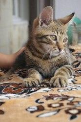 Очень ласковый гладкошерстный котёнок в дар!