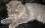 Британские длиношерстные котята(хайленд)