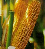 Семена кукурузы гибридные в Беларусь