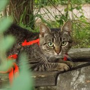 Кошка Лесное Чудо,  в приюте.